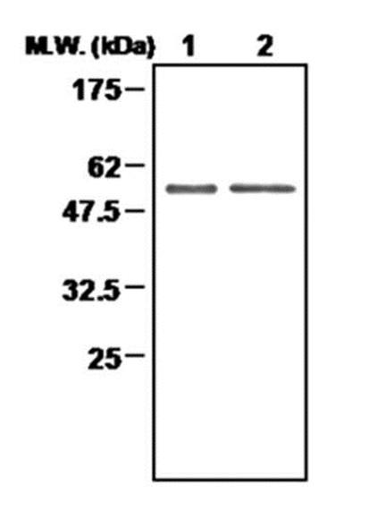 Thioredoxin Reductase 2 Antibody | 7B2 gallery image 1