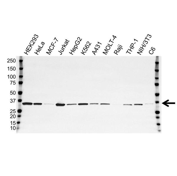 Thymidylate Synthase Antibody (PrecisionAb<sup>TM</sup> Antibody) | 9H4 gallery image 1