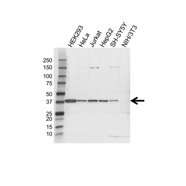 TIMM50 Antibody (PrecisionAb<sup>TM</sup> Antibody) gallery image 1