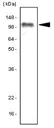 TLR7 Antibody | 4F4 gallery image 1