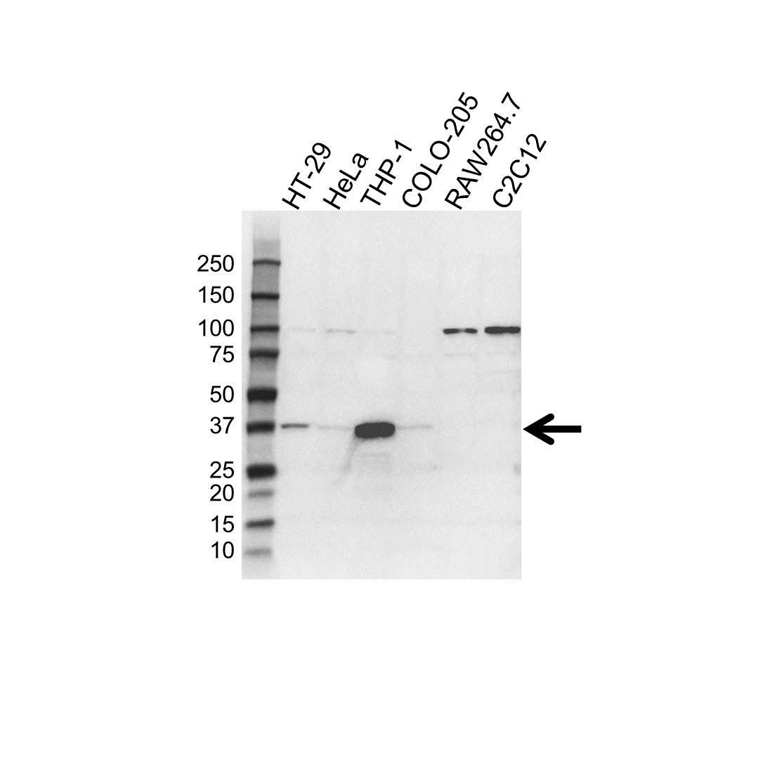 TMEM173 Antibody (PrecisionAb<sup>TM</sup> Antibody)   4H1 gallery image 1
