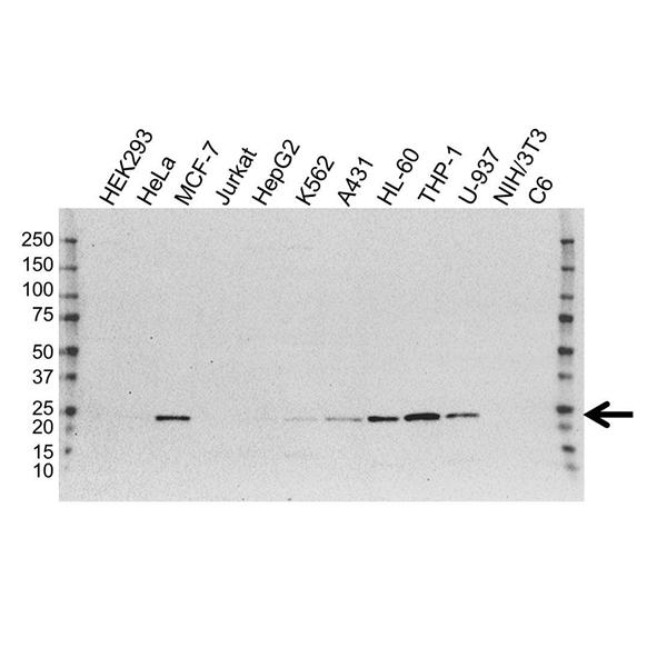TMS1 Antibody (PrecisionAb<sup>TM</sup> Antibody) | OTI1A2 gallery image 1