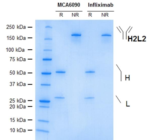 TNF Alpha Antibody   cA2 gallery image 1
