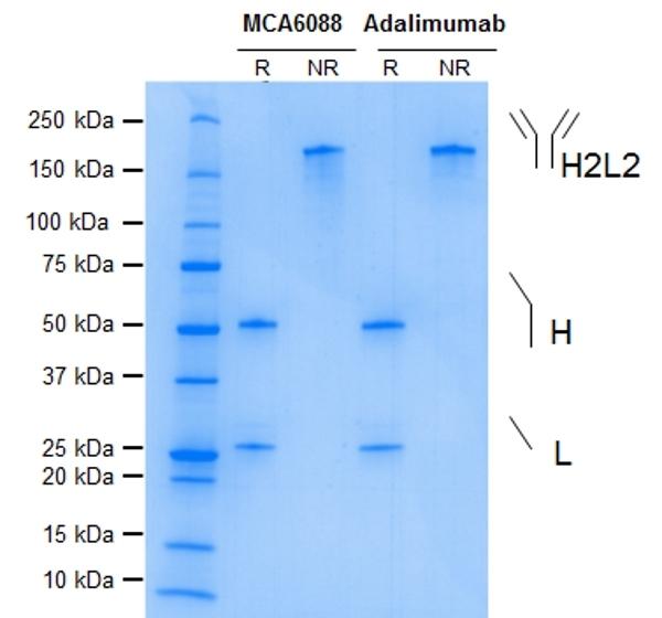 TNF Alpha Antibody   D2E7 gallery image 1