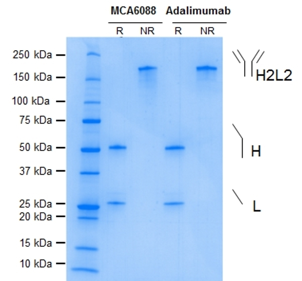 TNF Alpha Antibody | D2E7 gallery image 1