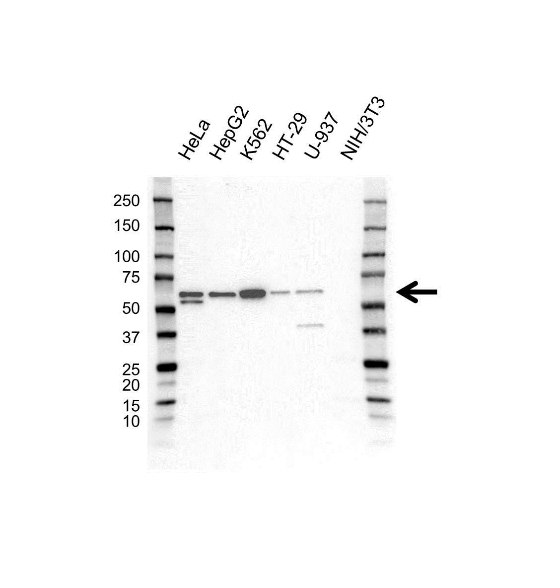 TOM1 Antibody (PrecisionAb<sup>TM</sup> Antibody) gallery image 1