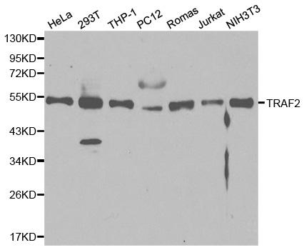 TRAF2 Antibody gallery image 1