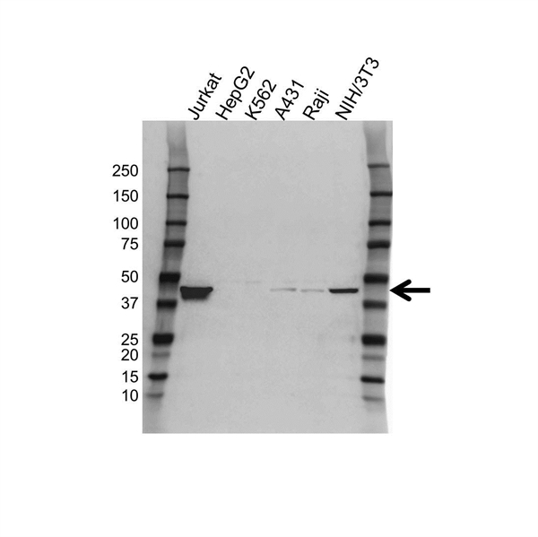 Transcription Factor E2F2 Antibody (PrecisionAb<sup>TM</sup> Antibody) gallery image 1