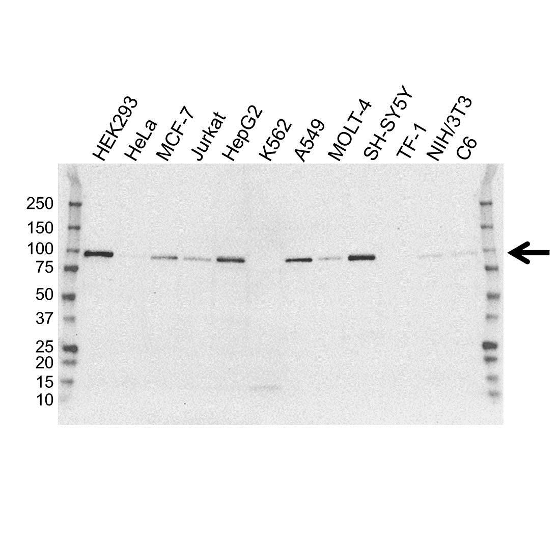 Transducin-Like Enhancer Protein 1 Antibody (PrecisionAb<sup>TM</sup> Antibody) | OTI1F5 gallery image 1