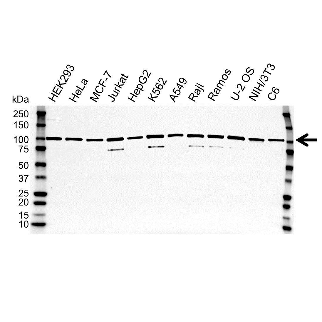 TRAP2 Antibody (PrecisionAb<sup>TM</sup> Antibody) gallery image 1