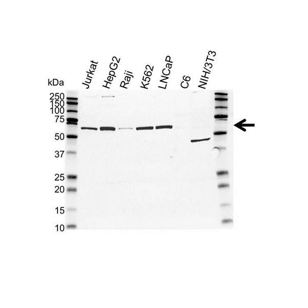 TRF1 Antibody (PrecisionAb<sup>TM</sup> Antibody) gallery image 1