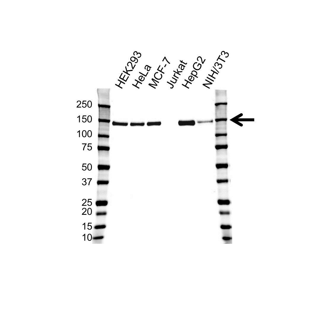 TRIM24 Antibody (PrecisionAb<sup>TM</sup> Antibody) | OTI2D9 gallery image 1