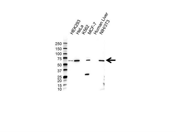 TRIM25 Antibody (PrecisionAb<sup>TM</sup> Antibody) gallery image 1