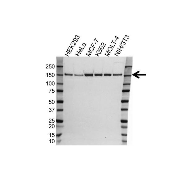 TRIM33 Antibody (PrecisionAb<sup>TM</sup> Antibody) gallery image 1
