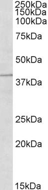 TRIM5 Alpha Antibody gallery image 1