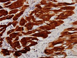 Troponin C Antibody | 1F8-A9 gallery image 1