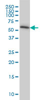TROVE2 Antibody | 1F2 gallery image 1