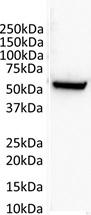 Tubulin Alpha 1B Chain Antibody   4D1 gallery image 4