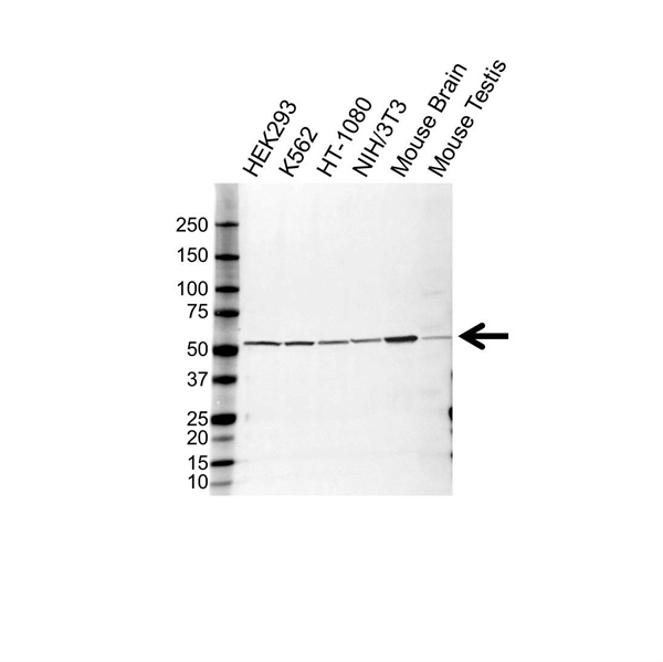 Tubulin Alpha 1C Chain Antibody (PrecisionAb<sup>TM</sup> Antibody) gallery image 1