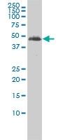 Tubulin Alpha 2 Chain Antibody | 3F10-2F2 gallery image 3