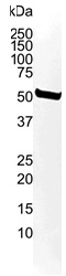 Tubulin Alpha 2 Chain Antibody | 3F10-2F2 gallery image 4