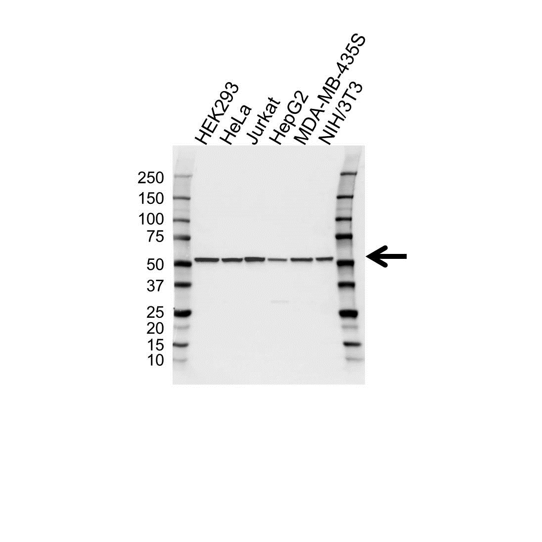 Tubulin Alpha 3C/D Chain Antibody (PrecisionAb<sup>TM</sup> Antibody) gallery image 1