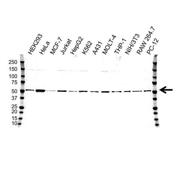 Tubulin Alpha 4A Chain Antibody (PrecisionAb<sup>TM</sup> Antibody) gallery image 1