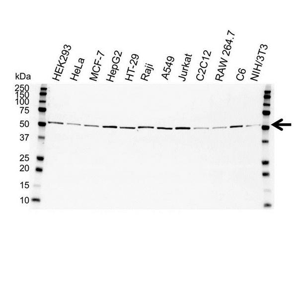 Tubulin Alpha Antibody (PrecisionAb<sup>TM</sup> Antibody) gallery image 1