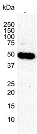 Tubulin Beta 2A Chain Antibody | 2B2 gallery image 2