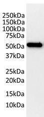 Tubulin Beta 2C Antibody | 1G3 gallery image 3