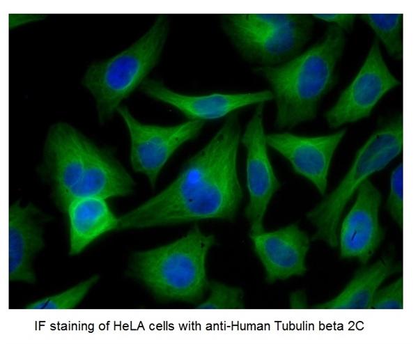 Tubulin Beta 2C Antibody | 1G3 gallery image 4
