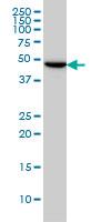Tubulin Gamma 2 Chain Antibody | 4F6 gallery image 1