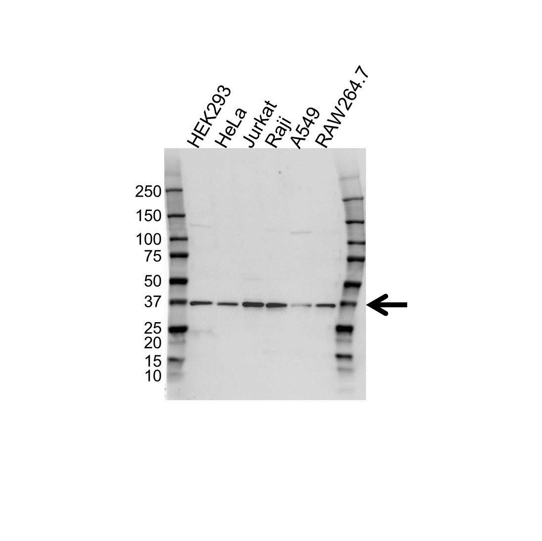 U2AF1 Antibody (PrecisionAb<sup>TM</sup> Antibody) gallery image 1