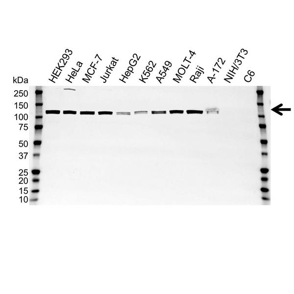 UBA1 Antibody (PrecisionAb<sup>TM</sup> Antibody) gallery image 1