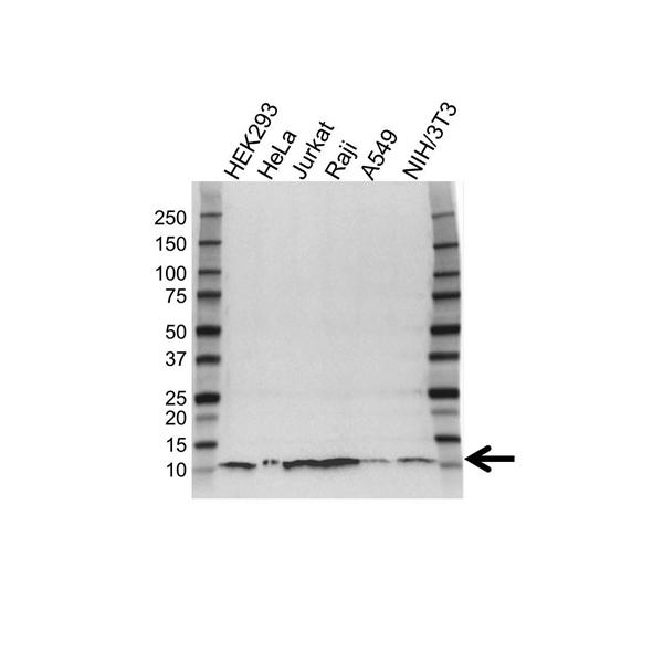 UBA52 Antibody (PrecisionAb<sup>TM</sup> Antibody)   4F2 gallery image 1