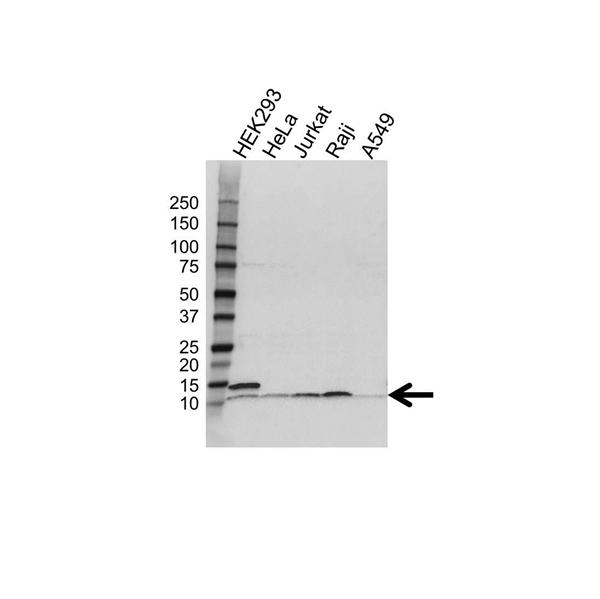 UBA52 Antibody (PrecisionAb<sup>TM</sup> Antibody) gallery image 1