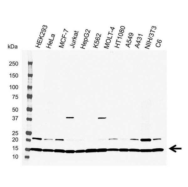 UBC13 Antibody (PrecisionAb<sup>TM</sup> Antibody) gallery image 1
