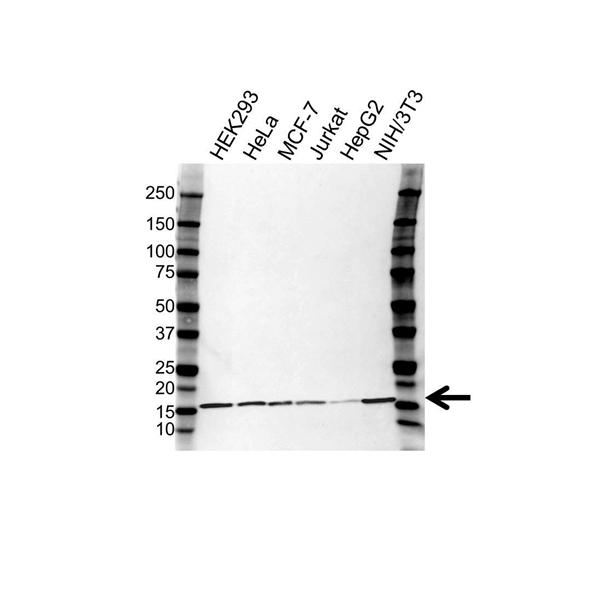 UBE2D2 Antibody (PrecisionAb<sup>TM</sup> Antibody) | 3H1 gallery image 1