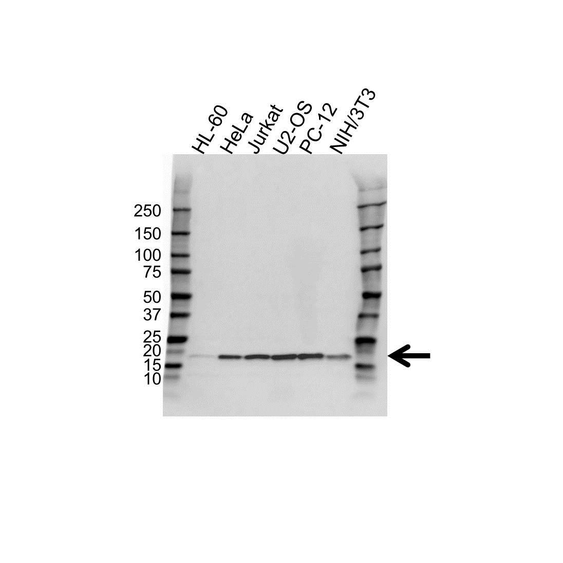 UBE2V2 Antibody (PrecisionAb<sup>TM</sup> Antibody) gallery image 1