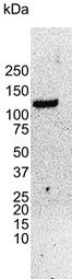 UBE4B Antibody | 8F9 gallery image 2