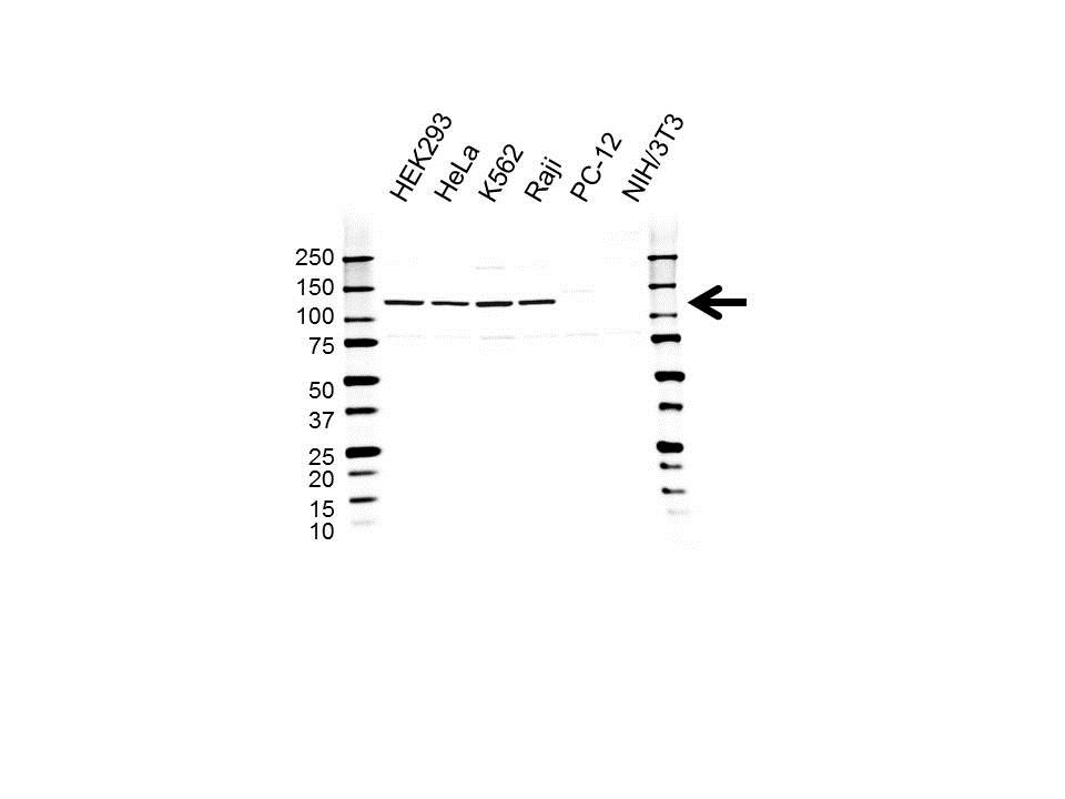 UBE4B Antibody (PrecisionAb<sup>TM</sup> Antibody) gallery image 1