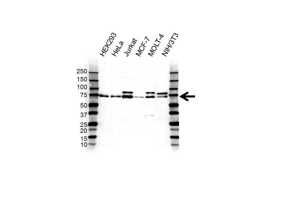 UBIQUILIN-1 Antibody (PrecisionAb<sup>TM</sup> Antibody) gallery image 1