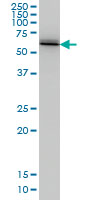 Ubiquilin 2 Antibody | 5F5 gallery image 2