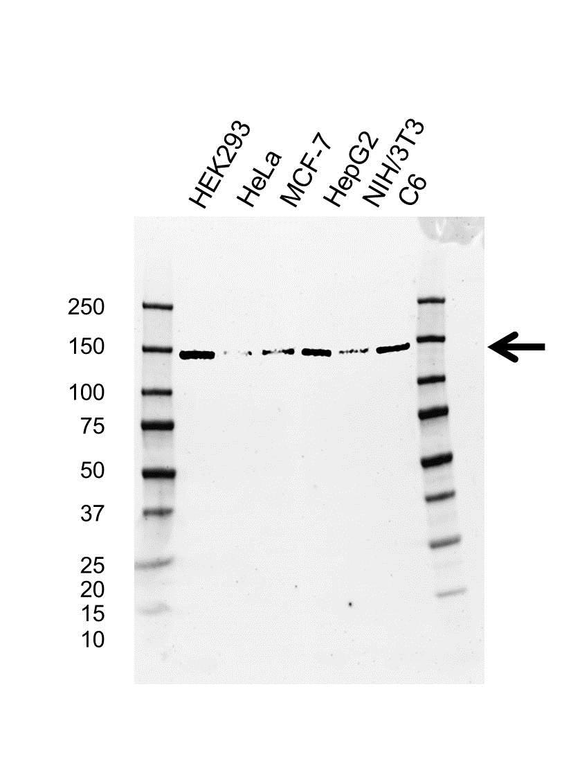 UPF1 Antibody (PrecisionAb<sup>TM</sup> Antibody)   AB03/4D5 gallery image 1