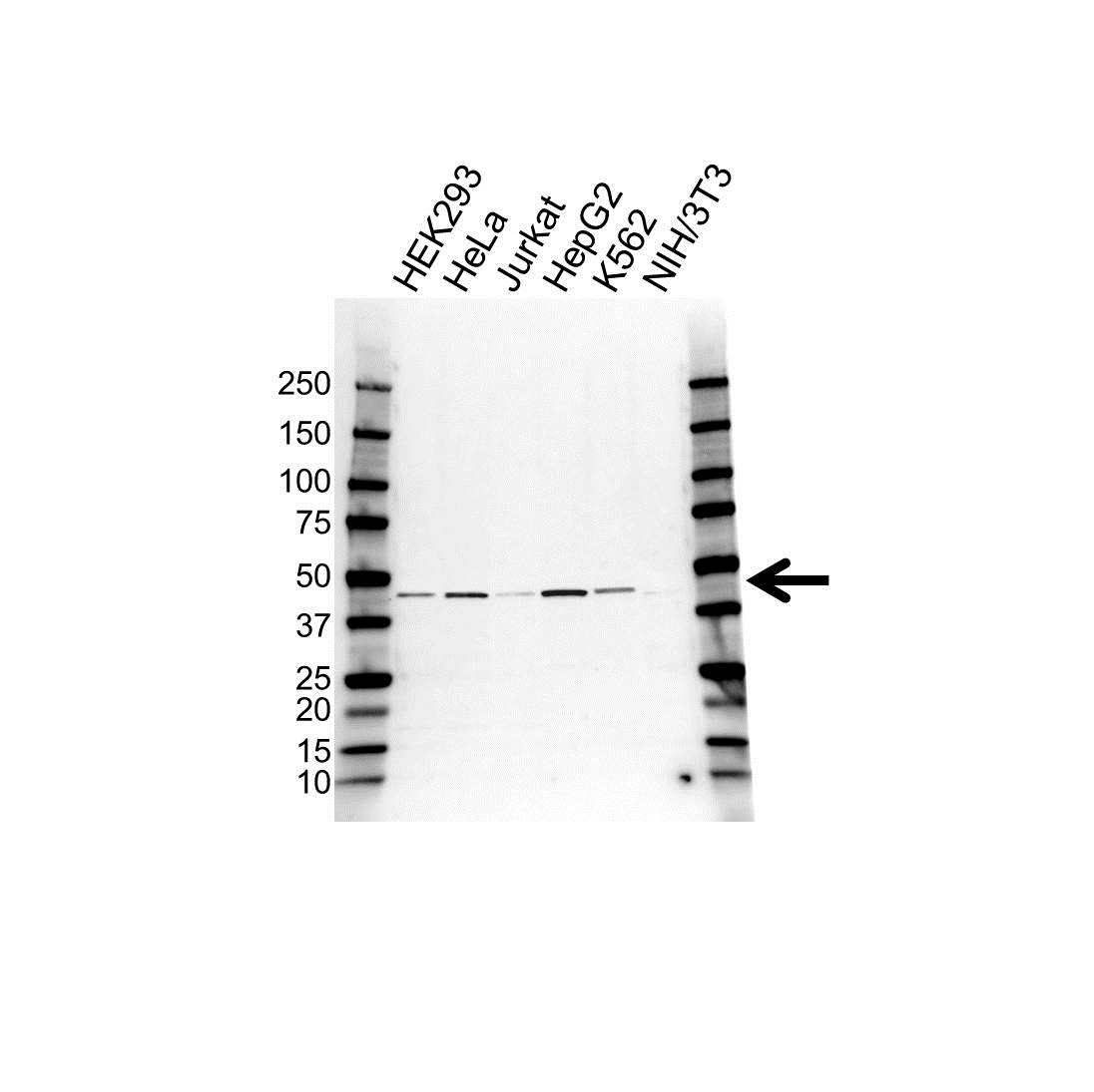 UQCRC2 Antibody (PrecisionAb<sup>TM</sup> Antibody) gallery image 1