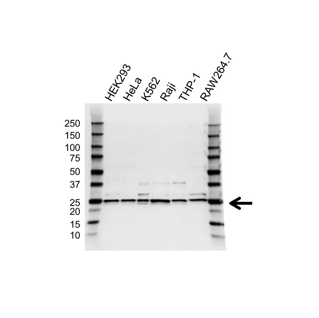 UQCRFS1 Antibody (PrecisionAb<sup>TM</sup> Antibody) gallery image 1
