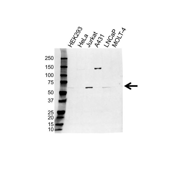 USP14 Antibody (PrecisionAb<sup>TM</sup> Antibody) gallery image 1