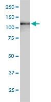 USP15 Antibody | 1C10 gallery image 2
