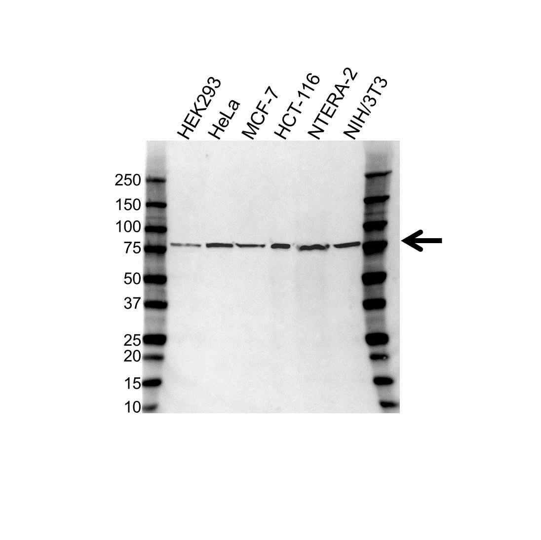 USP2 Antibody (PrecisionAb<sup>TM</sup> Antibody) gallery image 1