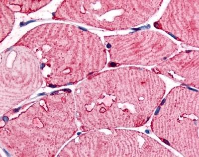 USP2 Antibody gallery image 1